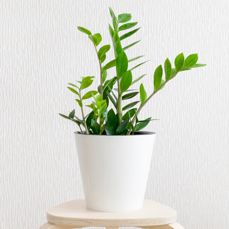 Zamioculcas | Plante verte | Fleurs Ô Naturel