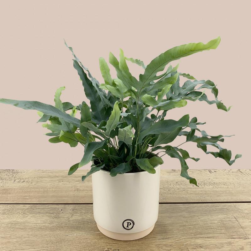 Fougère | Plante dépolluante | Fleurs Ô Naturel