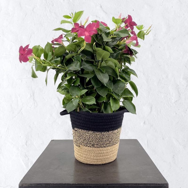 Dipladenia rose-plante fleurie-printemps