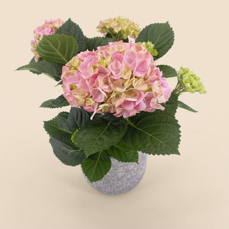 Hortensia rose-plantes fleuries en pot-printemps