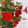Fleurs de dipladenia- plante fleurie-printemps