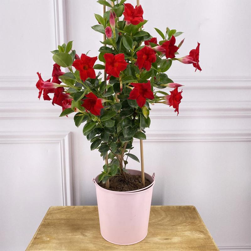 Dipladenia rouge-plante fleurie-printemps