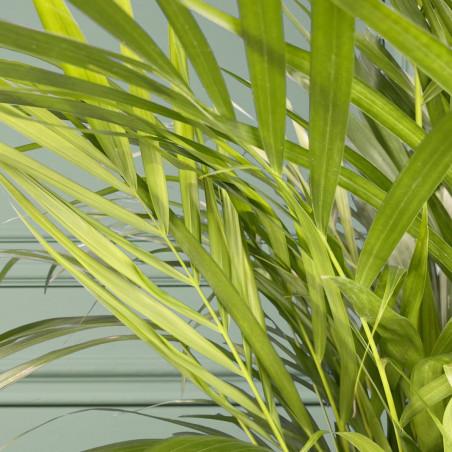 Plante verte pour la maison