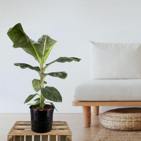 Plante verte d'intérieur pour septembre