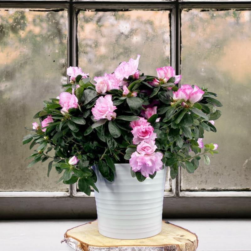Azalée, Plante interieur, automne